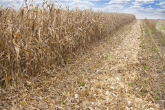 Corn field panorama. Maize corn field during harvest Stock Images
