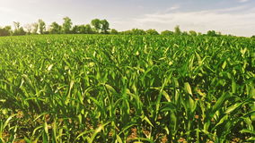Corn field. Passing by corn field on a bright sunny day stock footage