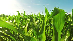 Corn field stock video