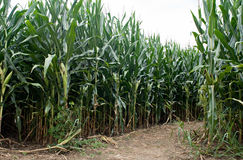 Corn Field Path royalty free stock photography