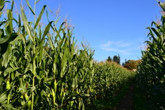 Corn Field. At the peak of the season Stock Image