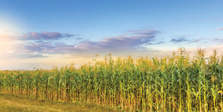 Corn Field. Perspective on a sunset Stock Photo