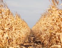 Corn field Royalty Free Stock Photo