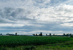 Corn field in Pitt Meadows Royalty Free Stock Image