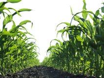 Corn Field. Corn plant on the field Stock Photography