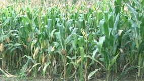 Corn field plantation stock video