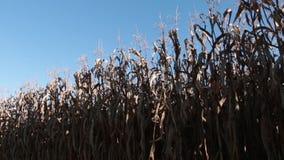 Corn field plantation ready to harvesting stock footage