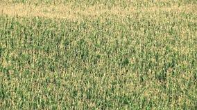Corn field plantation stock video footage
