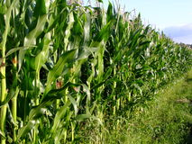 Corn field in Poland Stock Image