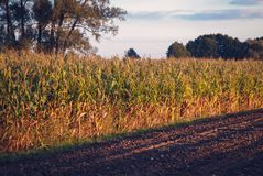 Corn field in Poland Royalty Free Stock Photography
