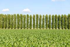 Corn field and poplars near Mortara (Italy) Royalty Free Stock Photos