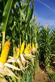 Corn field at Portugal. Royalty Free Stock Images