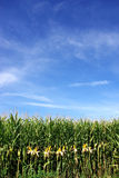 Corn field at Portugal. Stock Photography