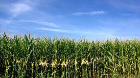 Corn field at Portugal. Stock Photos