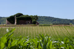 Corn field in Provence Stock Images