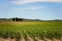 Corn field in Provence Stock Image