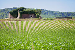 Corn field in Provence Royalty Free Stock Photography