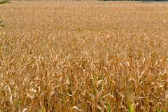Corn field, ready for harvest. Autumn coloring in the fields Stock Image