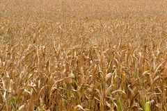 Corn field, ready for harvest. Autumn coloring in the fields Royalty Free Stock Photos