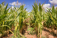 Corn field ready for harvest. Close up Stock Photography
