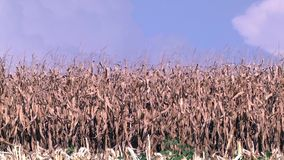 Corn field ready to harvesting stock footage