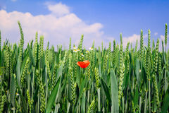 Grain field with red poppy stock photography
