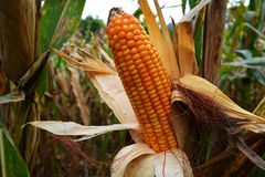 Corn Field. Ripe corn on the cob in a field ready for harvest Royalty Free Stock Photography