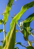 Corn field from Romania Royalty Free Stock Photography