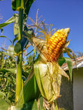 Corn field from Romania Stock Photo
