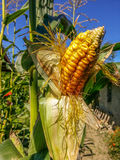 Corn field from Romania Royalty Free Stock Photos