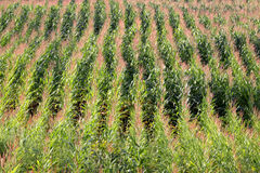 Corn Field Rows Royalty Free Stock Photography