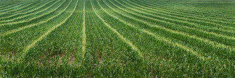 Corn Field Rows Royalty Free Stock Images