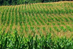 Corn Field. Rows of ripen corn field Stock Photo