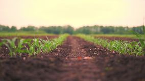 Corn field, rows of young corn plants, seedlings on fertile, moist soil, warm spring day, growing corn in an. Corn field, rows of young corn plants, seedlings on stock video footage