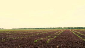 Corn field, Rows of young corn plants, seedlings on fertile, moist soil, warm spring day, growing corn in an. Corn field, Rows of young corn plants, seedlings on stock video