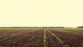 Corn field, Rows of young corn plants, seedlings on fertile, moist soil, warm spring day, growing corn in an. Corn field, Rows of young corn plants, seedlings on stock footage