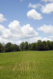 Corn Field Scenic. Corn field with big sky - blue sky and white clouds Royalty Free Stock Photography