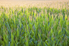 Corn Field seen backlighted Royalty Free Stock Photos