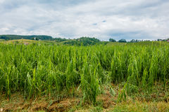 Corn field severly damaged in heavy storm with hail, crops ruine Royalty Free Stock Image