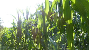 Corn. Field with shining sun Stock Photos