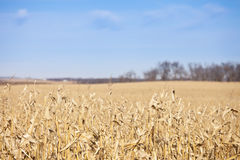 Corn field and sky Royalty Free Stock Photo