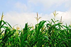 Corn field and sky Stock Photography
