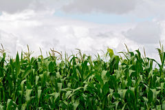 Corn in field on sky background Stock Photos