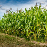 Corn field with sky background Stock Photos