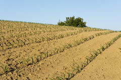 Corn field on a slope Royalty Free Stock Photography