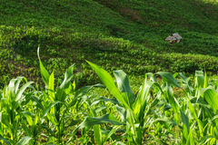 Corn field. Small hut in corn field at northern of Thailand Stock Images