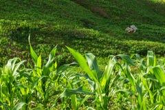 Corn field. Small hut in tribal corn field Stock Images
