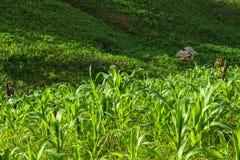 Corn field. Small hut in yang corn field Royalty Free Stock Image