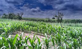 Corn field in southern Moravia Stock Images