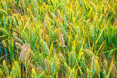 Corn field with spica in detail Royalty Free Stock Photography